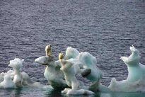Disminuye el nivel de mercurio presente en los osos polares debido al cambio climático