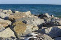 Cerca de 200.000 aves marinas mueren cada año en palangres y redes de enmalle en Europa