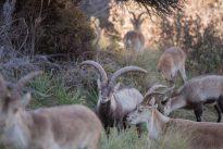 La Comunidad de Madrid vende cabras a los Pirineos para acabar con la superpoblación en el Guadarrama