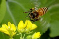 Las abejas están expuestas a los insecticidas incluso cuando se utilizan dentro de los invernaderos