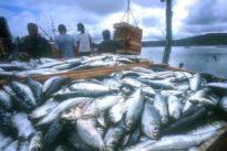 La reducción de cuotas pesqueras se suaviza en la merluza a costa del jurel