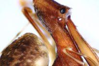 Las extrañas arañas pelícano que son caníbales y empalan a sus víctimas