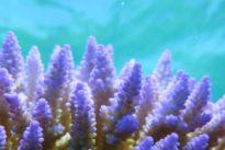 Los arrecifes han quintuplicado su frecuencia de blanqueamiento en los últimos 30 años