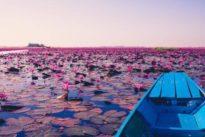 El lago rosa cubierto de flores de loto