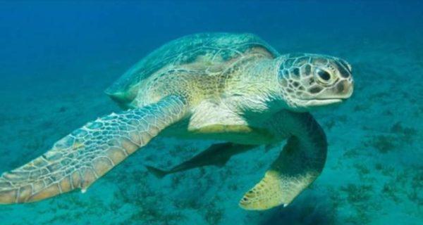 En el norte de la Gran Barrera de Coral solo nacen hembras de tortuga verde