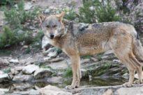 Más de 100.000 firmas piden prohibir la caza del lobo en Castilla y León