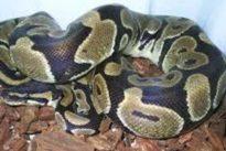 Encuentra una serpiente pitón de un metro de largo en el baño de su casa de Ciempozuelos