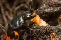 La lección de maternidad de un escarabajo (a la que deberíamos prestar atención)