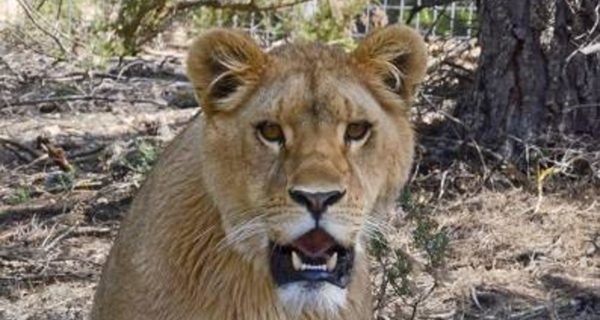 Final feliz para dos leones que vivieron un infierno en Francia y Siria