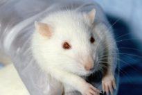 Una proteína natural logra reducir la grasa de ratones obesos