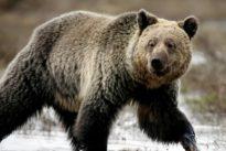 El oso grizzly de Yelowstone vuelve a ser declarado «amenazado»