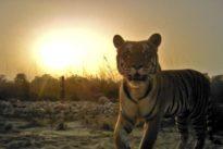 Nepal será el primero en duplicar su población de tigres silvestres