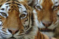 Los tigres no son todos iguales