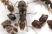 La extraña hormiga que desmiembra a sus enemigos, los decapita y decora el nido con sus cráneos