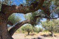 Los pueblos con la mayor concentración de olivos milenarios del mundo