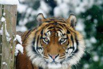 China levanta la prohibición del uso de hueso de tigre y cuerno de rinoceronte