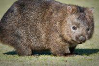 Científicos explican por qué el wombat hace caca cúbica