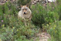 Los lobos aumentan un 20 por ciento en la última década en Castilla y León