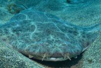 Los bañistas pueden causar escoliosis al tiburón ángel