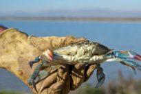 Alertan sobre la expansión descontrolada del cangrejo azul americano
