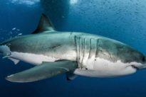 El secreto del tiburón blanco para una larga vida sin cáncer