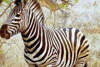 Aseguran haber descubierto por qué las cebras tienen rayas