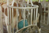 Un hombre en Holanda «enseña» a las vacas usar orinales para luchar contra los gases contaminantes