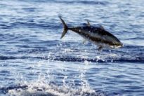 El atún, muy apreciado en la cocina y bajo mínimos en los océanos