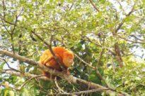 No hay respuesta aún para el misterioso fenómeno de los monos aulladores amarillos de Costa Rica