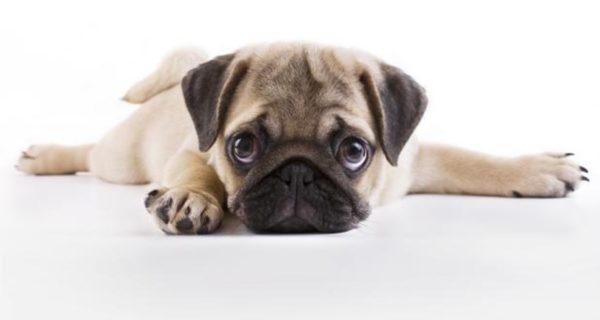 Así cambiamos la cara de los perros para que nos parezcan irresistibles