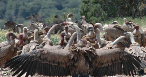 Mueren 537 buitres por comer los restos de tres elefantes envenenados por los furtivos en Botsuana