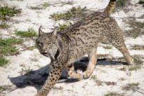 Muere atropellado el lince macho más longevo de Doñana