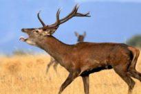 Las cuernas de los ciervos contienen compuestos que frenan los tumores